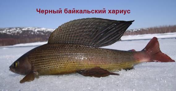 сибирская рыба