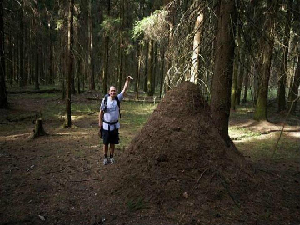 Огромные муравейники на Байкале