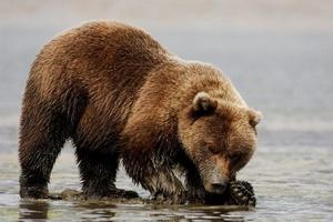 Медведь (Ursus arctos)